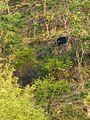 Common Sloth Bear.jpg