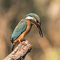 Common kingfisher (Alcedo atthis ispida) female.jpg