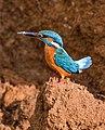 Common kingfisher 23.jpg