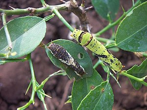 Instar - Two instars of a caterpillar of Papilio polytes