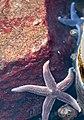 Common starfish in Brofjorden 3.jpg