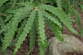 Comptonia-peregrina-foliage.jpg