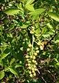 Conocarpus erectus 2.jpg