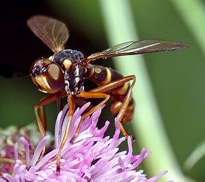 Conopidae - Conops quadrifasciatus