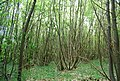 Coppiced trees, Quarry woods - geograph.org.uk - 1316071.jpg