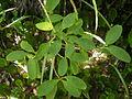 Coprosma foetidissima 12.JPG