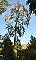 Corísia al jardí d'Aiora, València.JPG