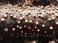 Coral Spot Fungus (Nectria cinnabarina) - geograph.org.uk - 1018747.jpg
