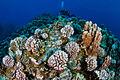 Corales en el Parque Marino Motu Motiro Hiva 5.jpg