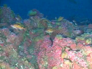 Cordell Bank National Marine Sanctuary - Cordell Bank - rosy rockfish and strawberry anemones at 55.5 meters depth