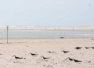 Cape Lookout National Seashore - Image: Core Banks Black Skimmer nesting site 3