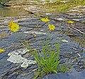 Coreopsis lanceolata Arkansas.jpg