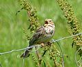 Corn Bunting. Miliaria calandra...singing - Flickr - gailhampshire.jpg