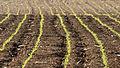 Corn shoots - Mısır filizleri 03.jpg