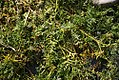 Coronopus squamatus plant (11).jpg