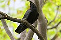 Corvus brachyrhynchos UL 07.jpg