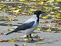 Corvus corone cornix 001xx.jpg