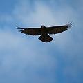 Corvus frugilegus -Ireland -flying-8.jpg