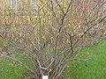 Corylopsis spicata2.jpg
