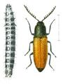 Corymbites castaneus.png