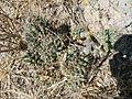 Coryphantha octacantha (5760809605) (2).jpg