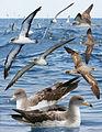 Corys shearwater From The Crossley ID Guide Eastern Birds.jpg