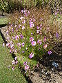 Cosmos 'Early Sensation' (Compositae) plant.JPG