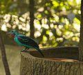 Cotinga cayana -Jurong Bird Park, Singapore-8a.jpg