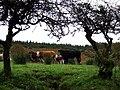 Cows through a hedge - geograph.org.uk - 580376.jpg