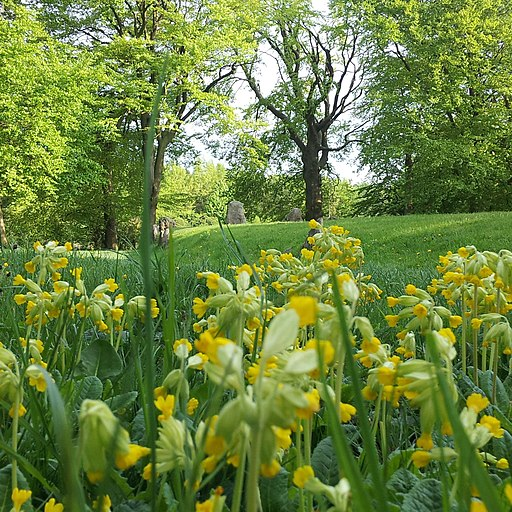 Cowslips at Waylands Smithy