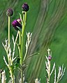 Creeping thistle 'Cirsium arvense' chlorosis, in Hatfield Broad Oak, Essex, England 2.jpg