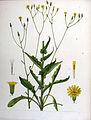 Crepis pulchra.jpg