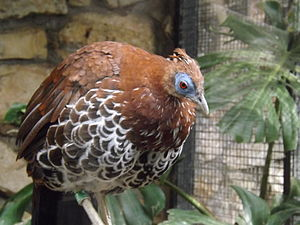 Crested fireback - Female at the Jerusalem Biblical Zoo