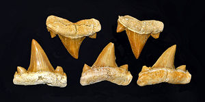 Cretolamna - Fossil teeth of C. biauriculata from Khouribga (Morocco)