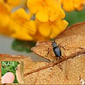 Cricket insect near Lantana flower Karnataka India.jpg
