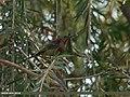Crimson Sunbird (Aethopyga siparaja) (16386689688).jpg