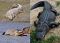 Crocodilia montage.jpg