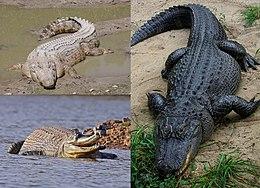 7aebe5e4b Clockwise from top-left  saltwater crocodile (Crocodylus porosus)
