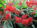 Crocosmia at Ventnor Botanic Garden.jpg