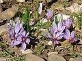 Crocus sativus YD02.jpg