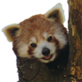 Cropped Red panda on a tree no background.png