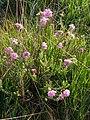 Cross-leaved heath (Erica tetralix) in flower, Black Gutter Bottom, New Forest - geograph.org.uk - 466283.jpg