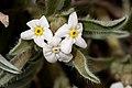 Cryptantha cinerea - Flickr - aspidoscelis (5).jpg