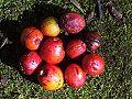 Cryptocarya laevigata - fruit.jpg