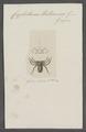 Cryptostemma - Print - Iconographia Zoologica - Special Collections University of Amsterdam - UBAINV0274 069 05 0007.tif
