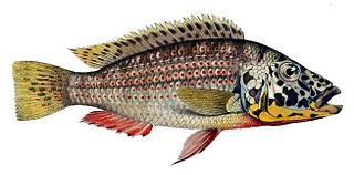 <i>Ctenochromis</i> genus of fishes