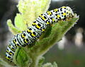 Cucullia verbasci (caterpillar) - Velilla de San Antonio, Madrid, Spain.JPG