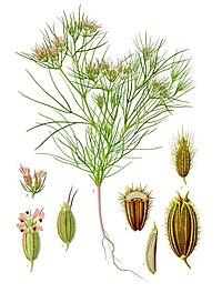 Cuminum cyminum - Köhler–s Medizinal-Pflanzen-198.jpg