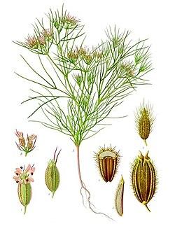 planche botanique du cumin