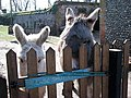 Curious donkeys - geograph.org.uk - 715138.jpg